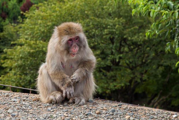 парк обезьян Iwatayama