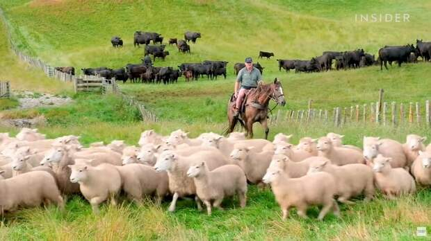 Видео: Как новозеландские фермеры стригут 25 000 овец за 10 дней
