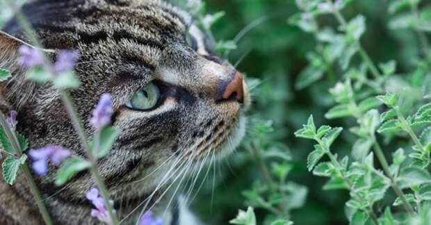 5 удивительных фактов о кошачьей мяте