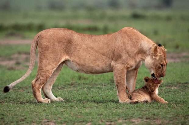 Львица спасает детёныша животные, львы, спасение, факты, фото