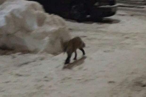 Фото из объявления о пропаже лисы, которая на тот раз нашлась