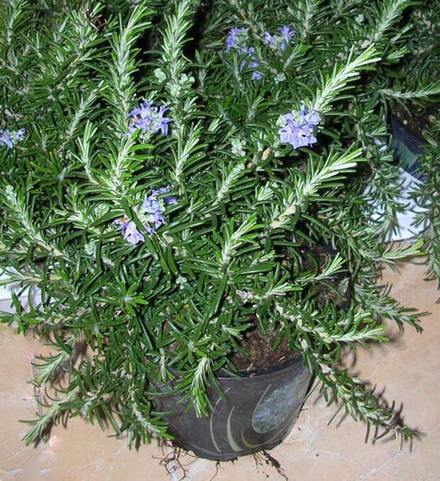 Розмарин ампельный сорт Rivera фото сайта www.flowerslove.com.ua