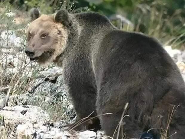 Охотники поймали медведя, который девять месяцев дебоширил вАльпах