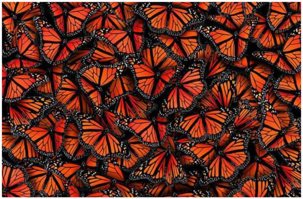 Известно 165 тыс. видов бабочек.  бабочки, интересное, красота, насекомые