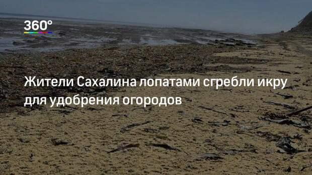 Жители Сахалина лопатами сгребли икру для удобрения огородов