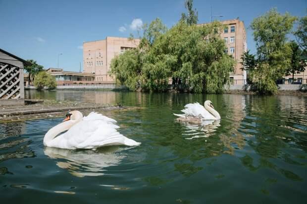 Белые лебеди вернулись в пруд Московского НПЗ в Капотне