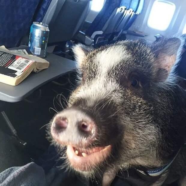Хрю! Оказывается, здесь не так уж страшно! животные, забавно, летайте самолетами, мило, пассажиры, самолет, собаки, хвостатые пассажиры
