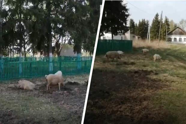 Скандал из-за свиней: житель Новосибирской области угрожал односельчанам убийством. СК начал проверку