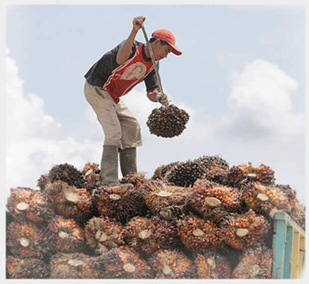 Фото №2 - Критическое масло: мифы и правда о пальмовом масле