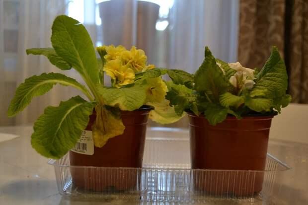 Есть ли смысл выращивать рассаду примул, или купить готовые?