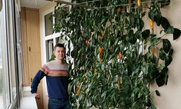 Забор из перца в московской квартире: городской фермер делится опытом