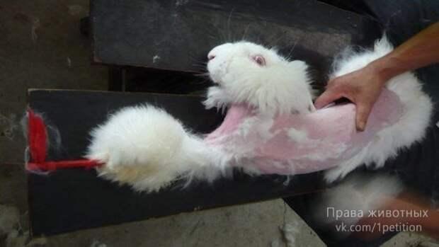 Ангорская шерсть добывается ценой невероятных страданий животных! Вы уже никогда не захотите купить свитер…