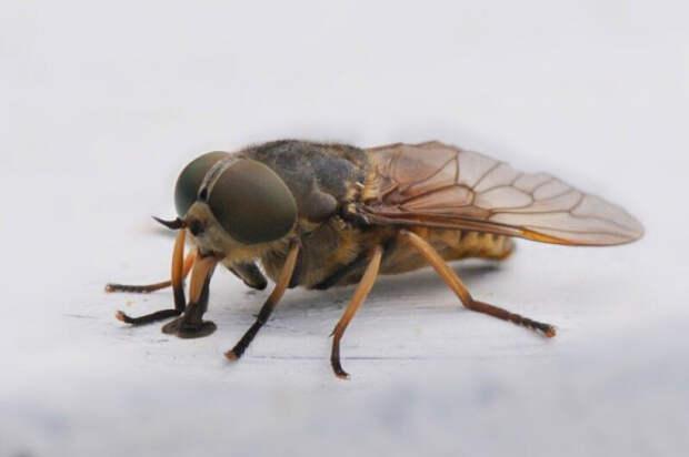 Слепень: Сосёт как70комаров одновременно! Цикл жизни деревенской мухи-вампира