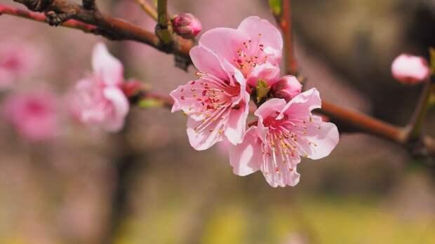 В долине реки Сходни расцвели дикорастущие фруктовые деревья