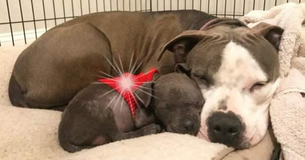 У беременной собаки замерли щенки, и она стала нянчить носки… Но у этой истории СЧАСТЛИВЫЙ конец!