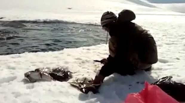 Упитанные белухи готовятся к ледовому выходу на Чукотке