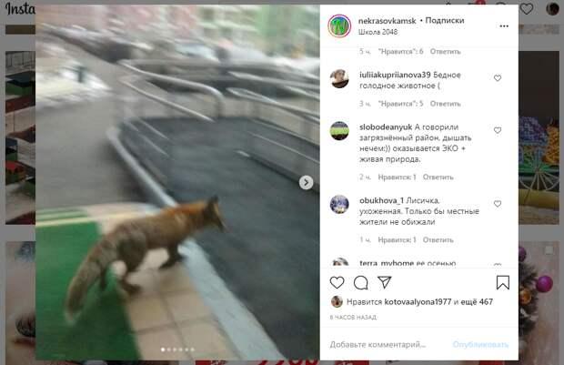 Лису сфотографировали крупным планом на Липчанского