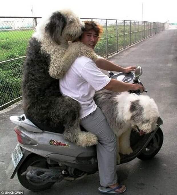 Размер имеет значение: эти огромные собаки уверены, что они ручные