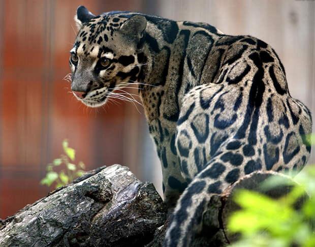 http://katuny.ru/wp-content/uploads/2015/02/dimchtiy-leopard.jpg