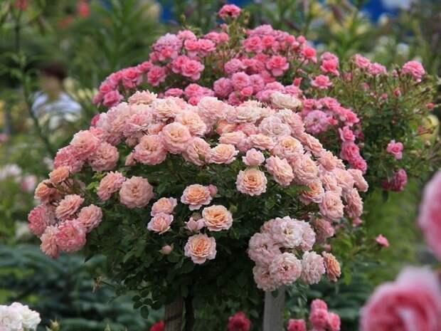 Основные ошибки при выращивании роз на даче