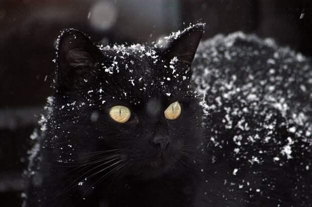 Кошка, Черная Кошка, Снег
