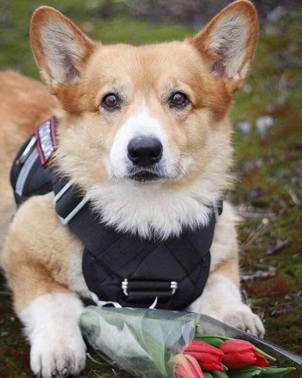 Единственный в России полицейский пёс-корги уходит на пенсию