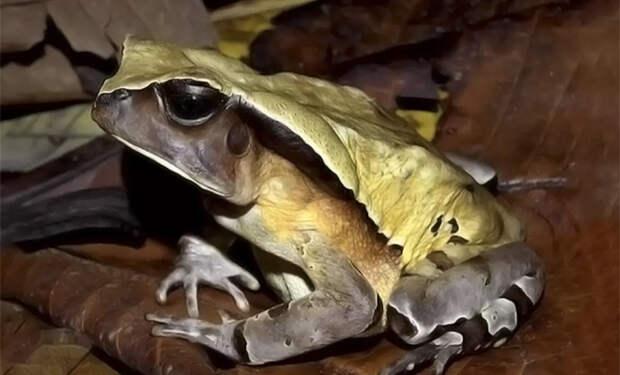 Африканская лягушка эволюционировала и научилась маскироваться в змею, чтобы обмануть хищников
