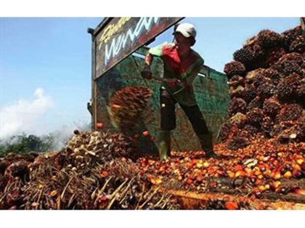 Как Малайзия с Европой из-за пальмового масла поссорились