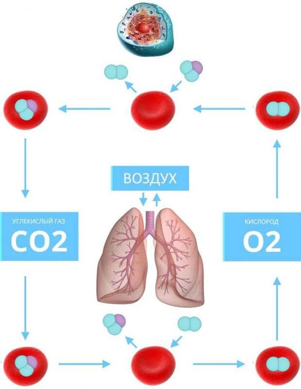 Полезен ли для организма углекислый газ
