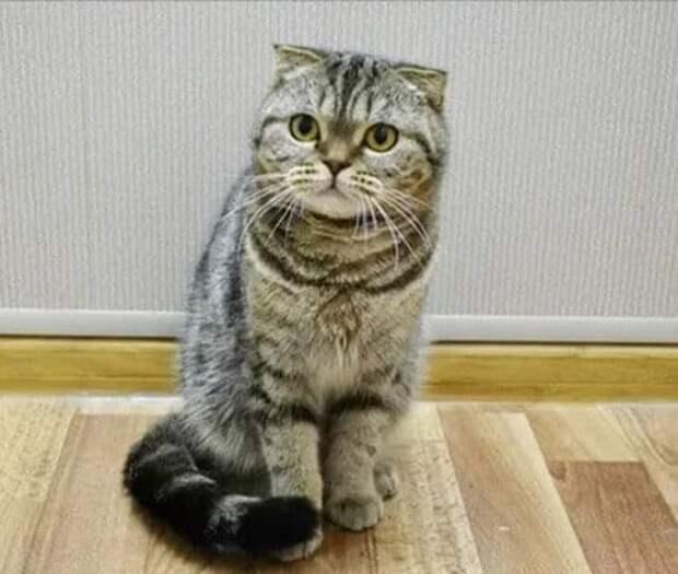 Шотландский котёнок чуть не остался без тёплого дома, из-за моей близкой подруги