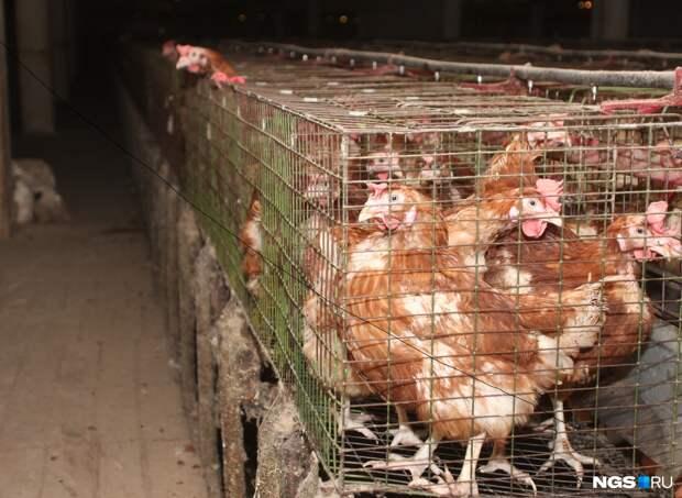 Число сотрудников сократилось на 320 человек: директор объяснил, почему в Коченёво закрылась птицефабрика