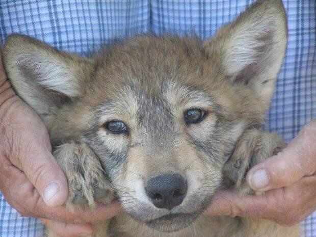 Тоня Литтлвольф спасла от верной гибели трёх волчат