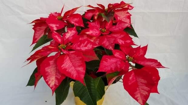 Пуансеттия, или молочай красивейший, или рождественская звезда (Euphorbia pulcherrima)