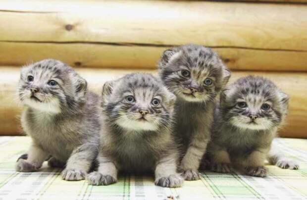 Детеныш манула. Такие милые и забавные котятки.