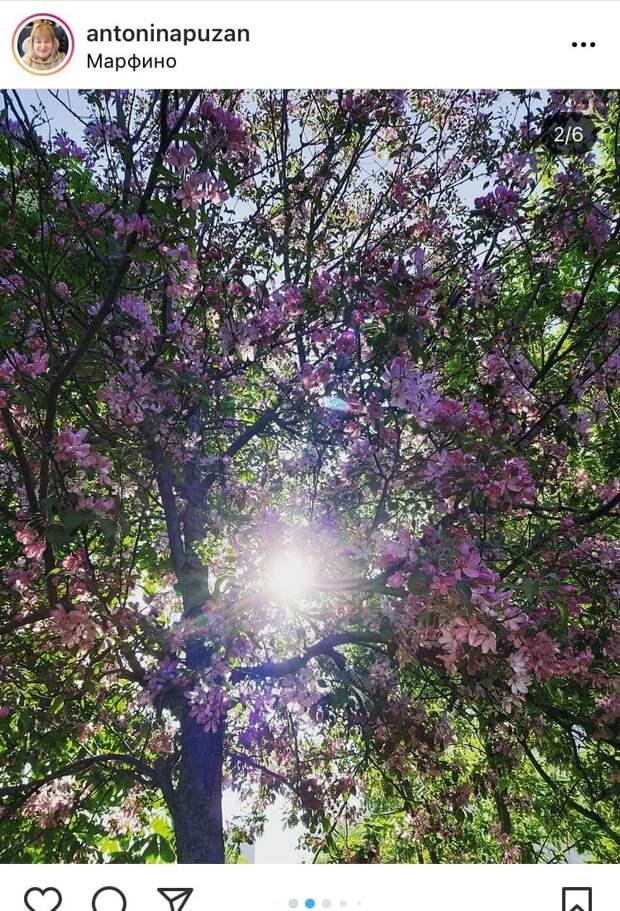 Фото дня: цветущее дерево в Марфине попало в объектив