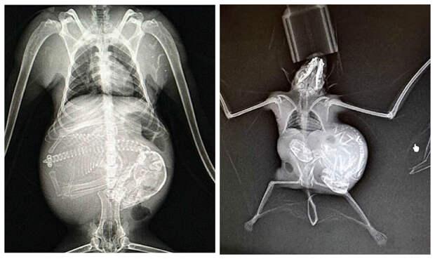 Летучая мышь беременность, беременность животных, детеныши животных, животные, рентген, рентген животных, рентгеновские снимки, рентгеновский снимок