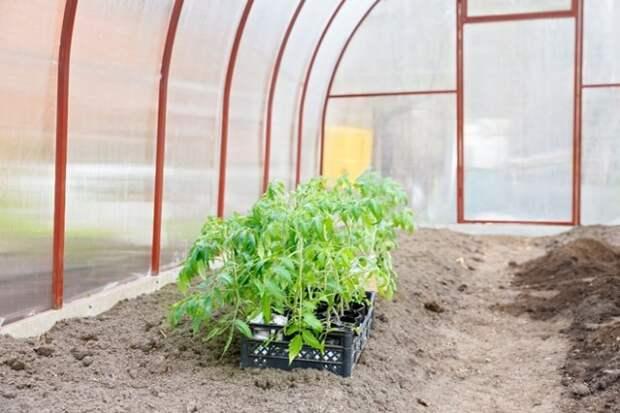 рассада томатов в теплице перед посадкой