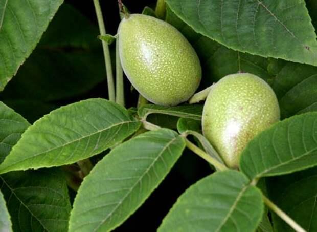 Грецкий орех, плоды