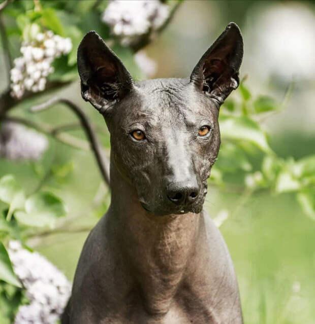 Щенок ксолоитцкуинтли оказался очень необычной на вид собакой, когда ему исполнился год