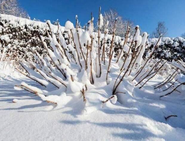Снег на гортензии