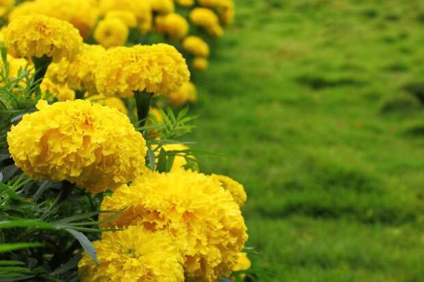 Hedge of yellow marigolds in a grass lawn. Genus - Tagetes