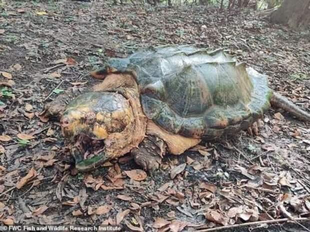 Во Флориде поймали черепаху-монстра (6 фото)