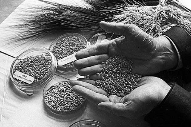 Ленинградцы в блокаду спасли бесценную коллекцию картофеля и семян