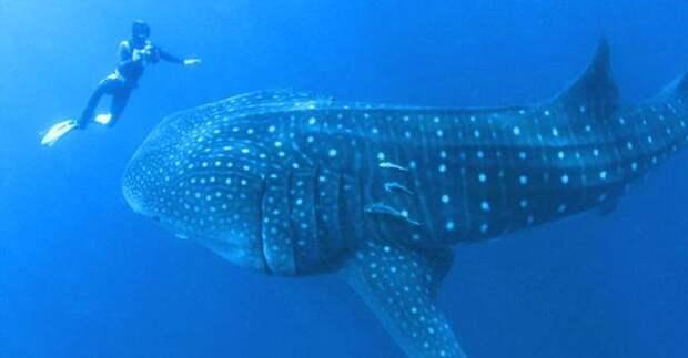 Спасение, которое могло закончиться плачевно для спасателя! Огромная китовая акула вдруг попросила человека о помощи…