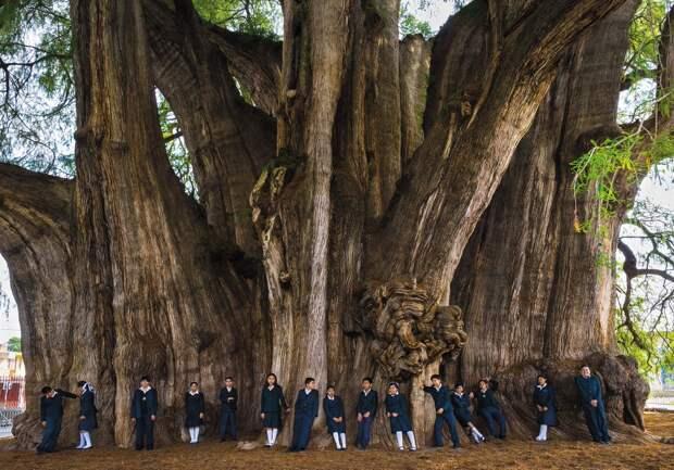 Дерево с самым толстым стволом