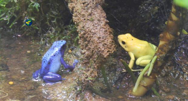 Лягушки древолазы имеют очень яркие цвета