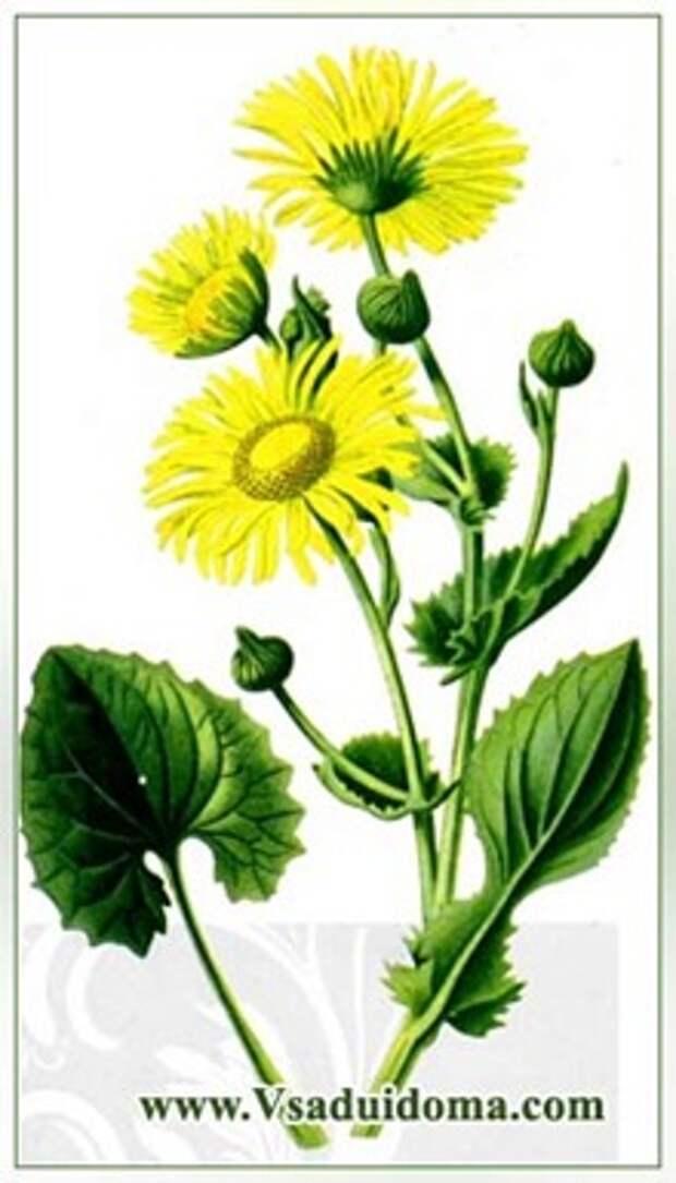 Цветок дороникум (фото) посадка и уход