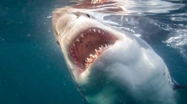 2. Белые акулы