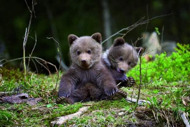 В Финляндии появился новый вид туризма - вертолетное сафари к бурым медведям