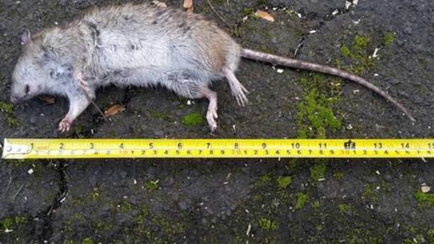Грызуны размером с кошку вызывают головную боль у жителей Новой Зеландии